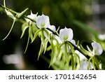 """Angraecum Eburneum is a species of orchid. Their common name the """"comet orchid"""". They generally grow up to 2 meters in height and grows 10 to 15 flowers per plant."""