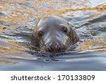 Grey Seal Close Up Portrait...