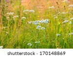 Small photo of Achillea cartilaginea flowers on meadow