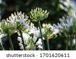 Bud Of A White Agapanthus In...