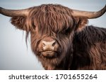 Scottish Highland Cattle ...
