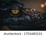 Close Up   Crocodile Or...