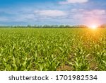 Green Corn Field  Blue Sky With ...