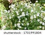 Campanula Lactiflora Sort...