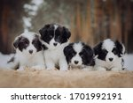Border Collie Puppies Black An...