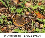 Common Buckeye Butterfly ...