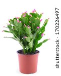 Christmas Cactus Isolated On...