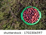 Vaccinium oxycoccos is also known as small cranberry, bog cranberry, swamp cranberry. Harvest wild berries. Fresh un-picked cranberries in a cranberry field. Cranberries on small green branches.