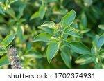 Ocimum Basilicum Or Hairy Basil ...