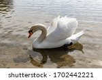 A Beautiful White Swan With...