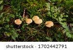 Suillus Bovinus  Mushroom Or...