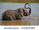 An Elephant Bathes In A Water...