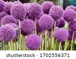 Allium Giganteum Commonly...