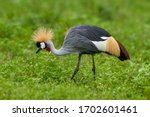 Grey Crowned Crane In Natural...