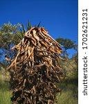 Dead Aloe Plant Standing...