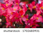 Flowers Of Begonia Planted On...