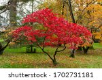 Beautiful Japanese Maple Tree...
