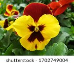 Yellow And Black Flower Pansies ...