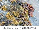 View Of Seaweeds On Atlantic...
