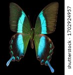Morpho Butterfly Isolated On A...