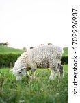 A Sheep Enjoying An Afternoon...