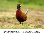 Attentive Common Pheasant ...