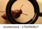 Mealworm   superworm. close up...