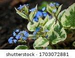 Blue Flowering Brunnera...