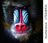 Mandrill Close Up Portrait ...