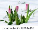 snowdrops tulip flowers in the... | Shutterstock . vector #170346155