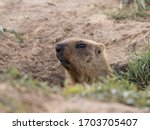 A Curious Groundhog Peered Out...