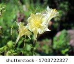 Yellow Columbine Flower...