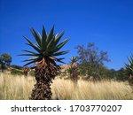 Mountain Aloe Against The Slope ...