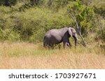 African Elephants Walking In...
