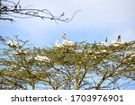 White Pelicans Resting On The...