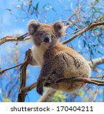 Koala In Great Ocean Road ...