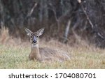White Tailed Deer Fawn In Forest