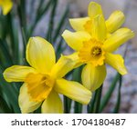 Daffodil Yellow Trumpet ...