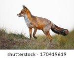 a beautiful red fox | Shutterstock . vector #170419619