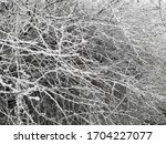 White Branches Covered With...