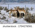 Pronghorn Antelope Foraging...