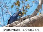 A Hyacinth Macaw Sitting On A...