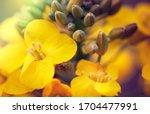 Rapeseed Flower Closeup. Colza  ...