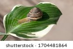 A Grape Snail Crawls On A Large ...