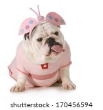 Stock photo english bulldog wearing butterfly costume with an attitude isolated on white background 170456594