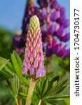 Lupinus Bud  Commonly Known As...