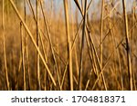 reed by the river, the rays of the setting sun fall on a reed