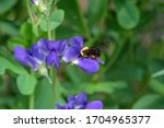 Bumblebee Feeding On Blue False ...