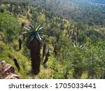 Mountain Aloes In Schurweberg...