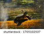 A Painted Turtle Resting On A...